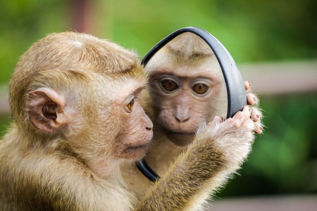 monkey looking in a mirror